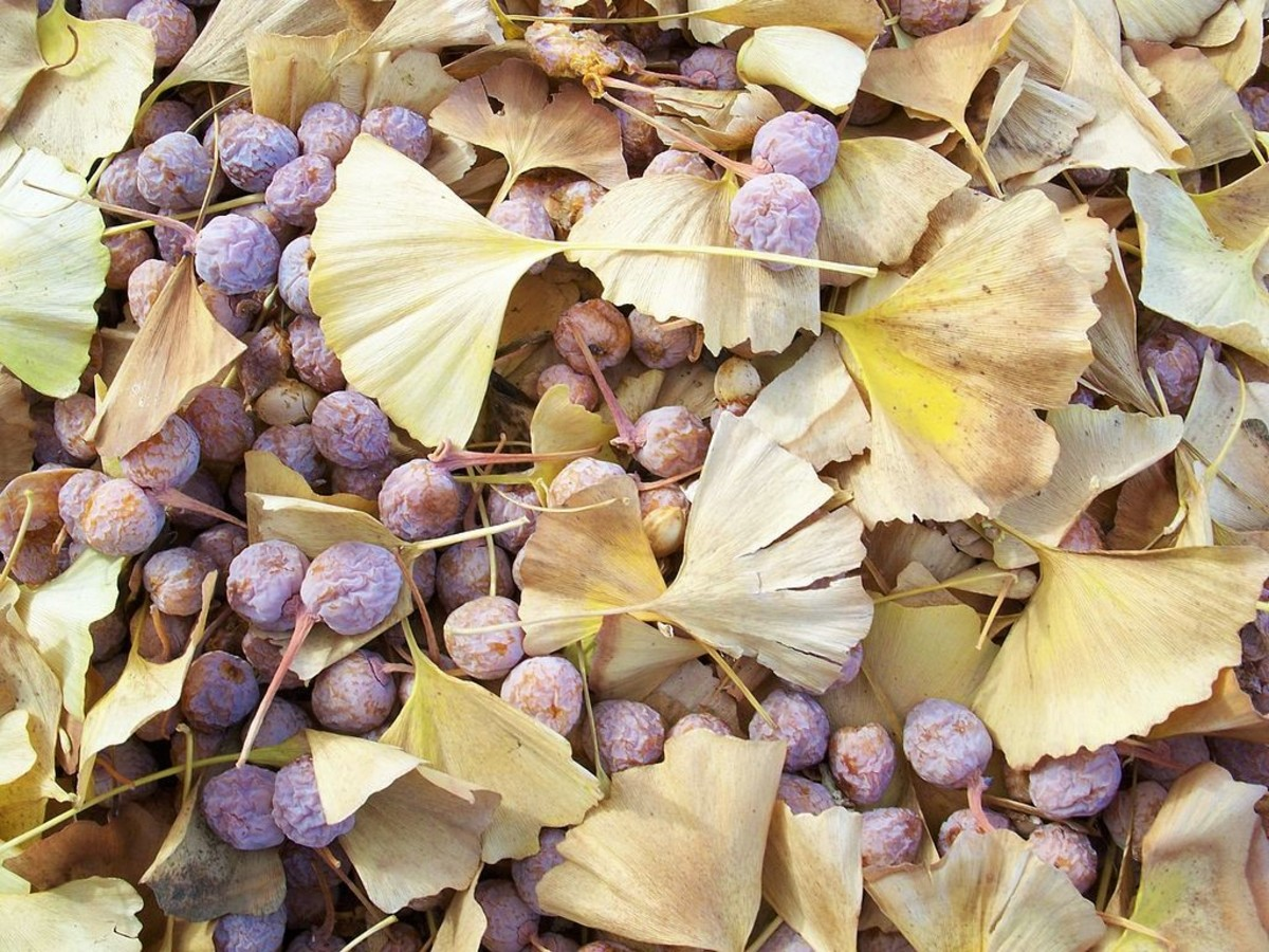 The fruit of a female ginkgo tree