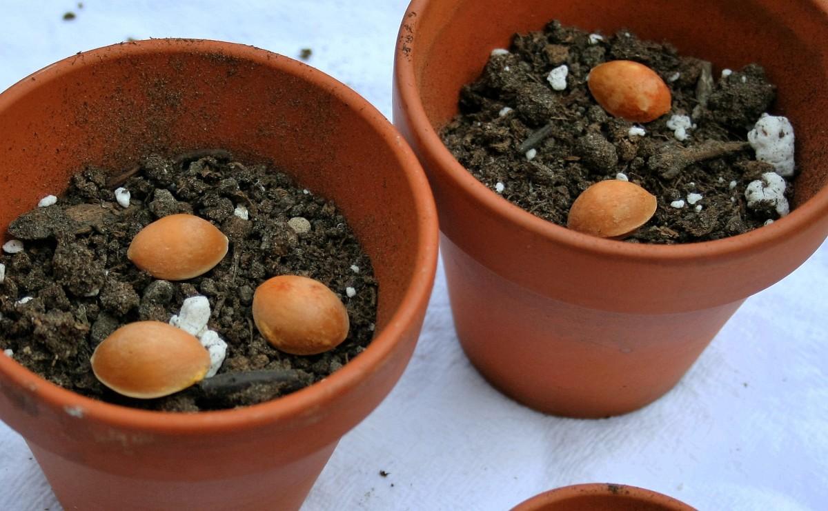 Seeds in growing medium