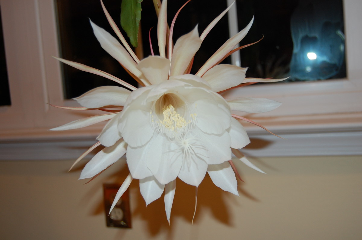 Night-blooming cereus flowers will fill the room with an intense, sweet scent.