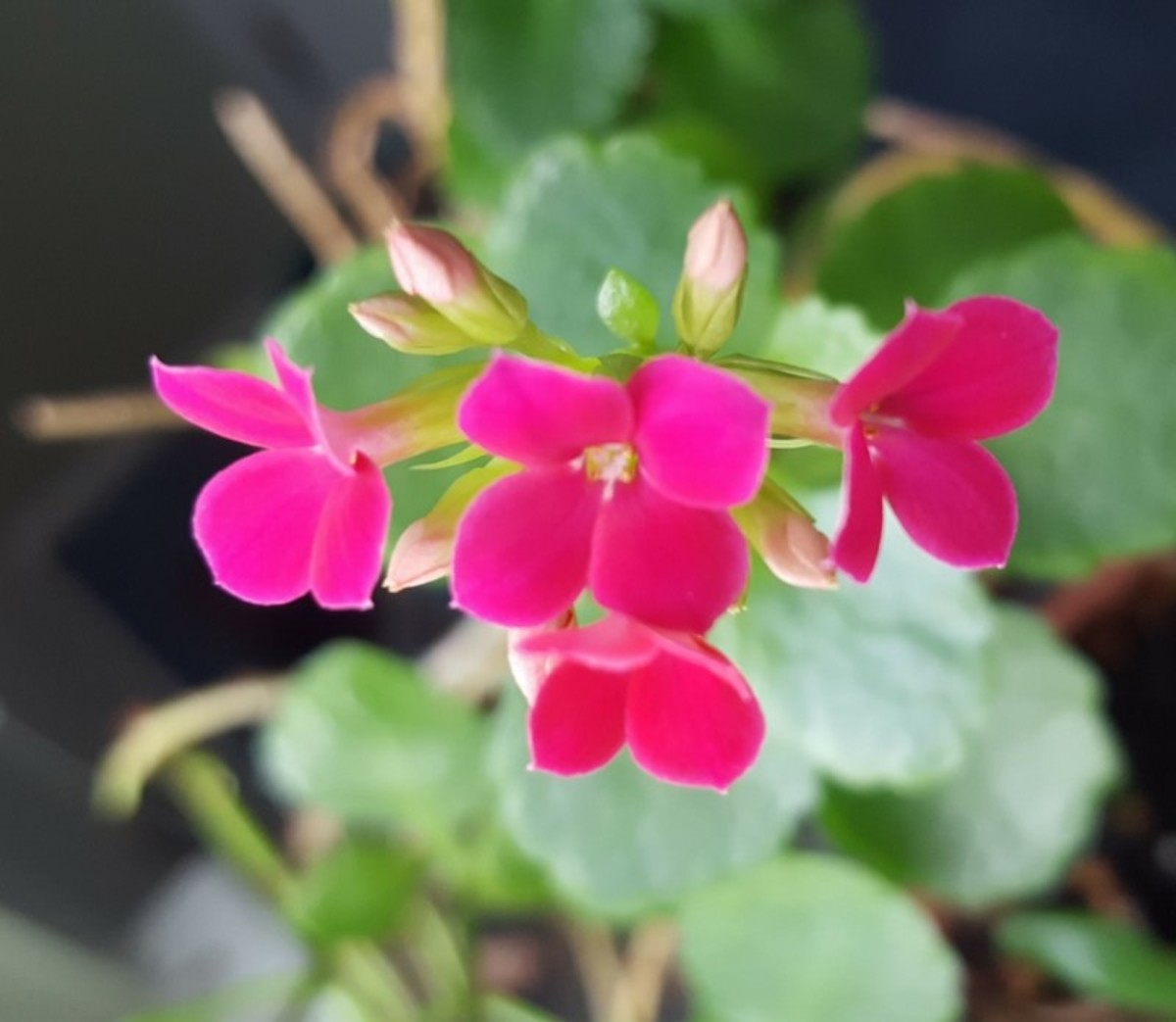 How to Grow Kalanchoe | Dengarden Kalanchoe Blooming Plant on solanum blooming plant, orchids blooming plant, kalanchoe blooming time, violet blooming plant,