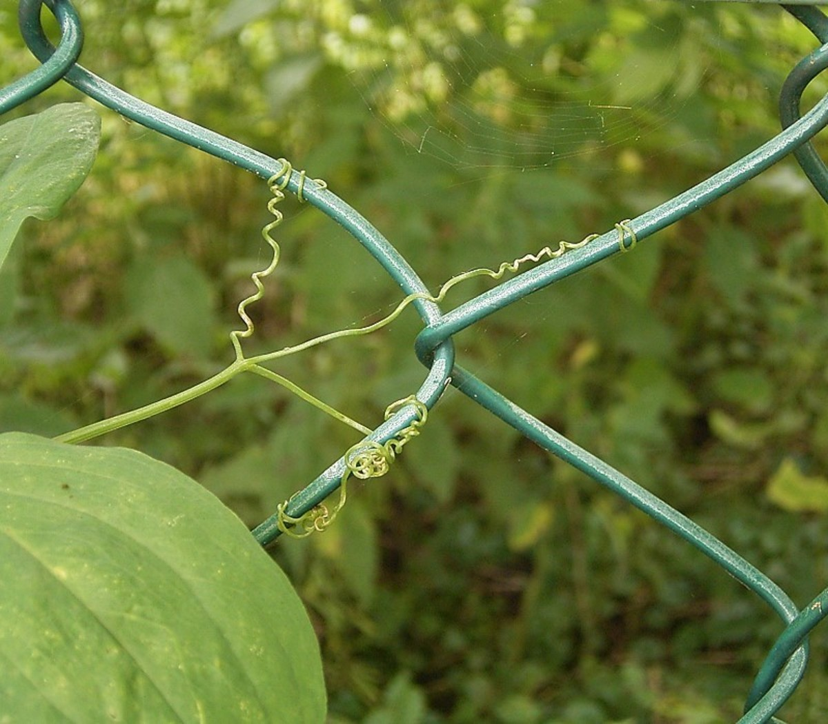 The tendrils on the vines are small so they need something thin like the links in a chainlink fence to grasp.