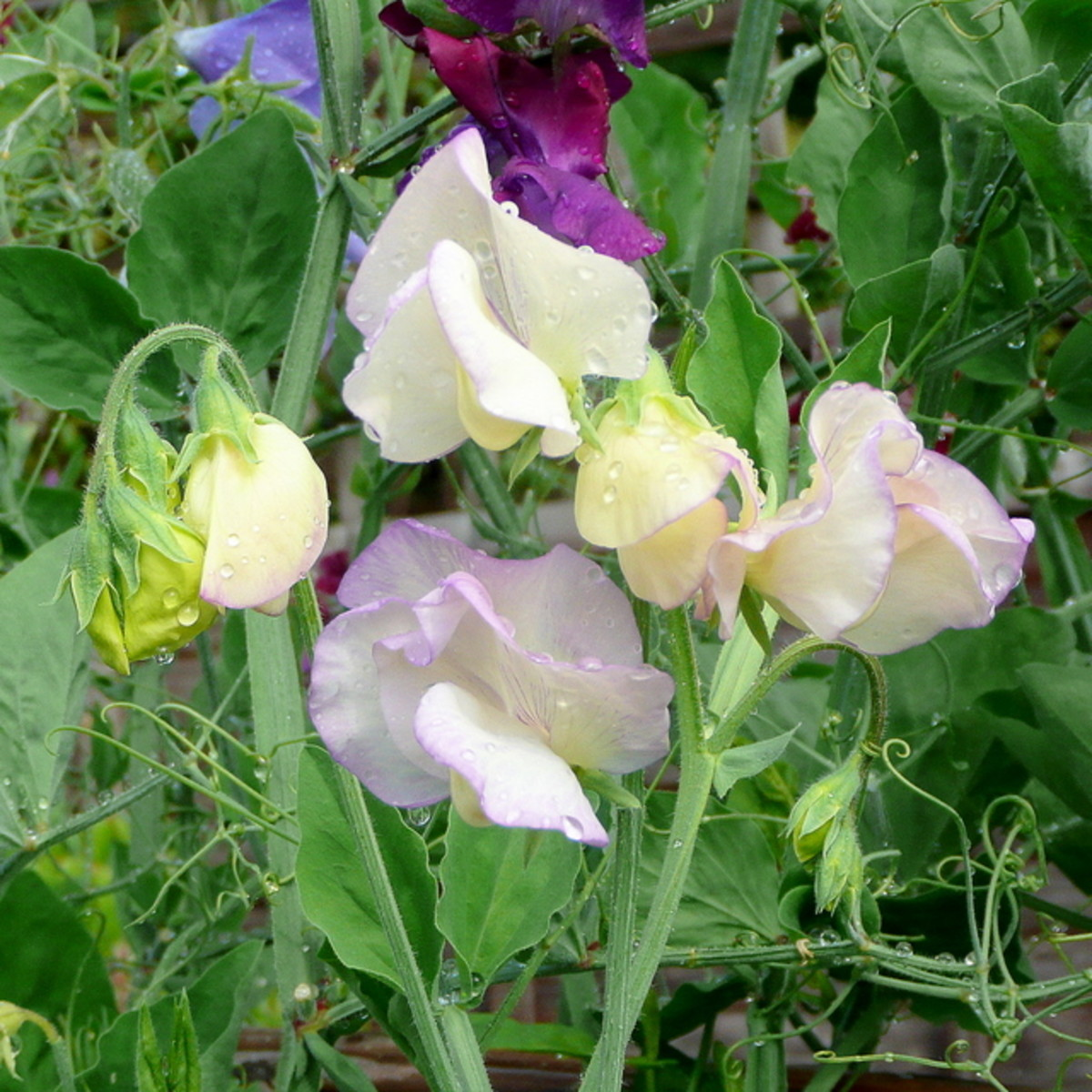 Cottage Garden Favorites: Sweet Peas