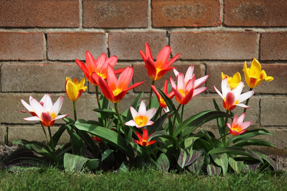 More perennial than the big hybrid tulips, and with a charming delicate look.