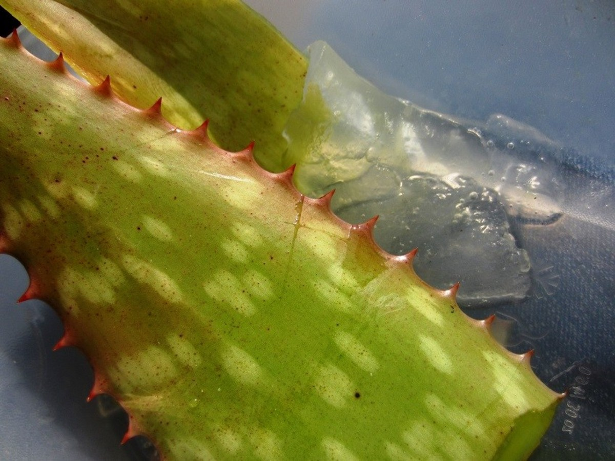 how do i harvest aloe vera gel dengarden