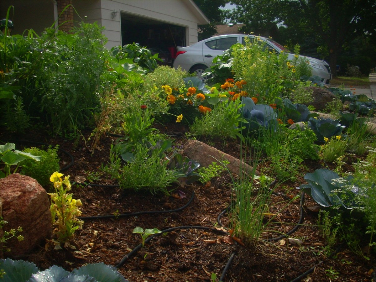 My front-yard garden: herbs, edible flowers, and vegetables.