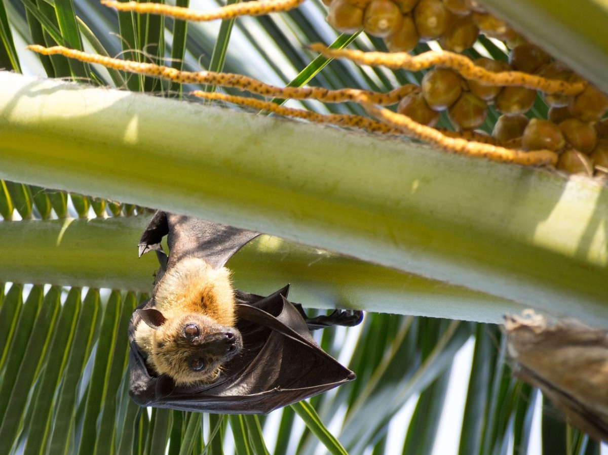 Bats for Natural Pest Control