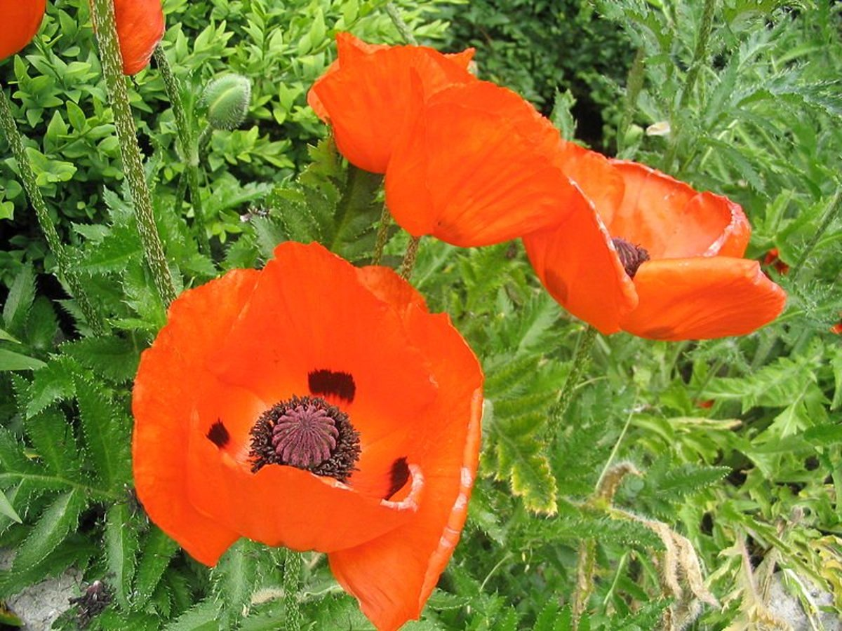 Poppy Leaves Uses