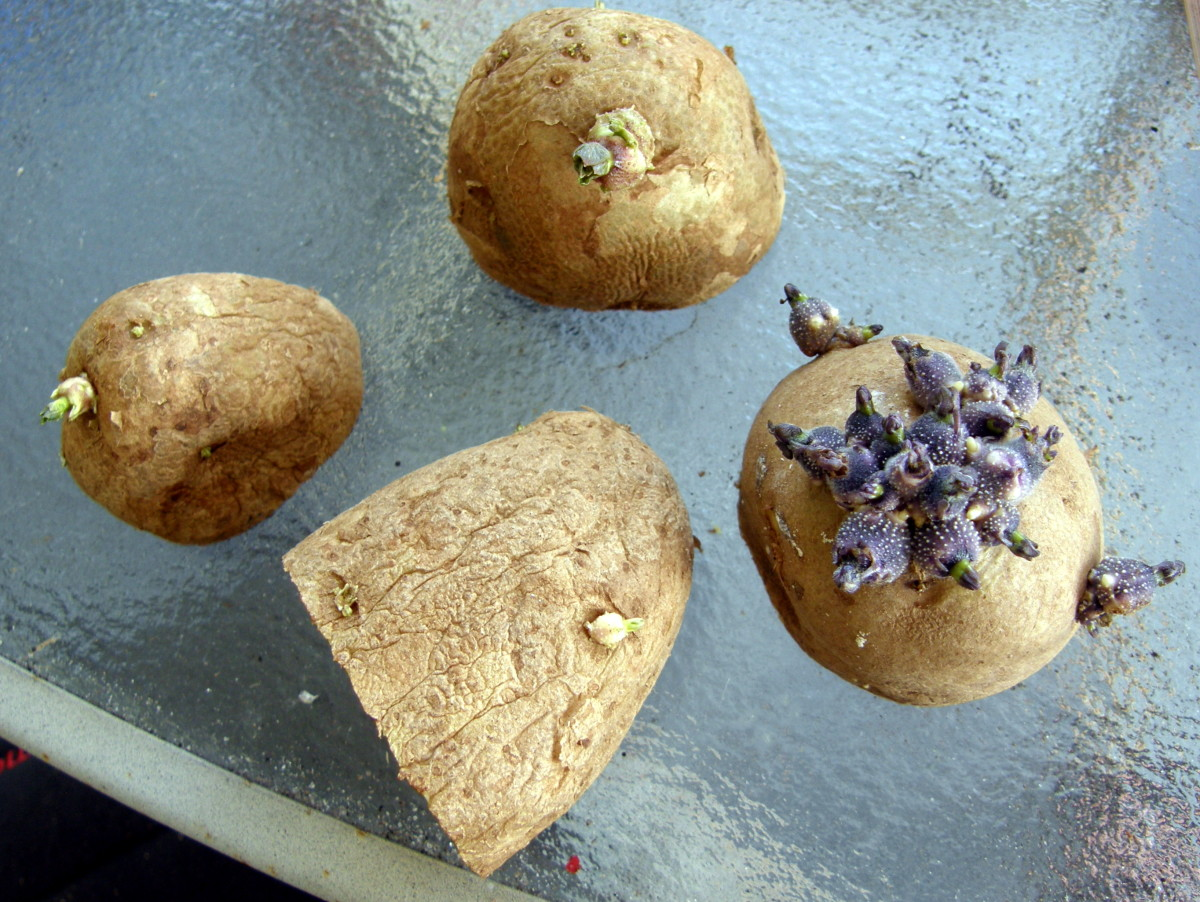 To grow a potato, you basically cut a small piece off of a seed potato and bury it under a few inches of soil.