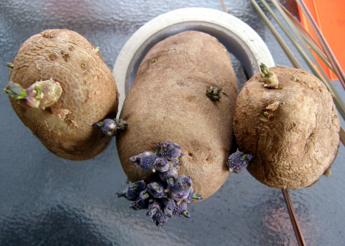 "Cut each potato into smaller 1 to 2-inch ""seeds"" Each seed should have 1 to 3 ""eyes."""