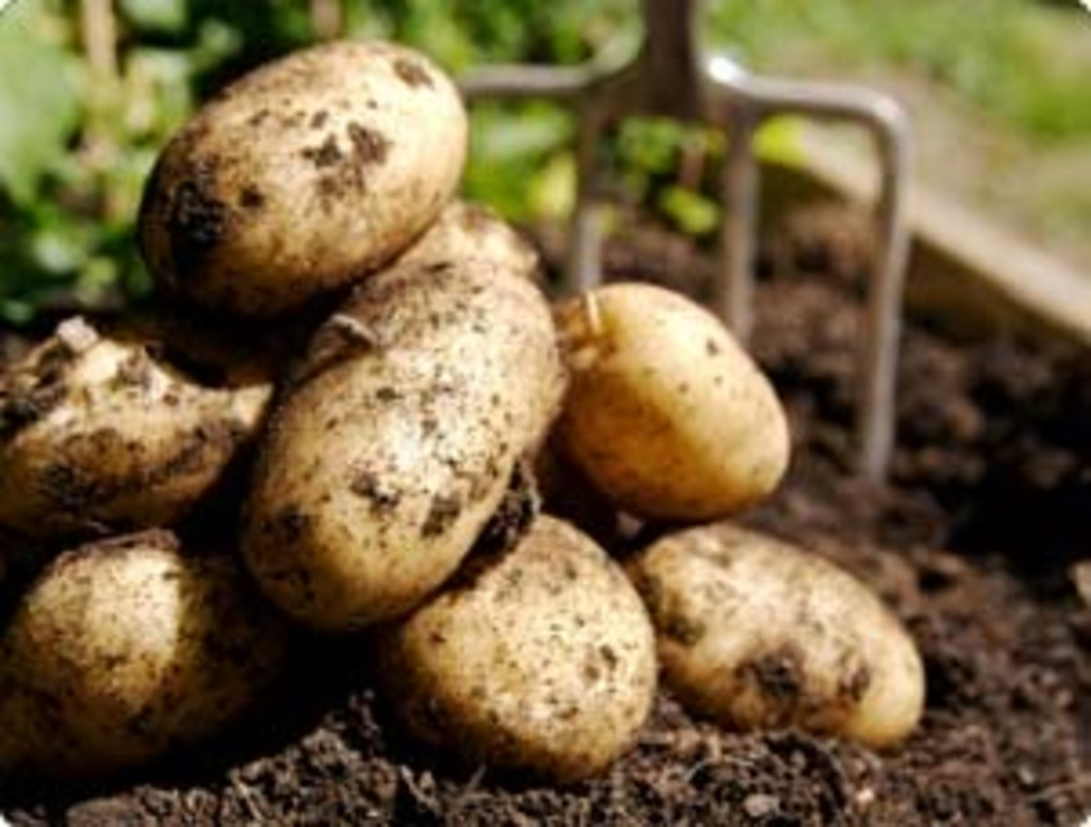 how-to-grow-irish-potatoes-in-a-container