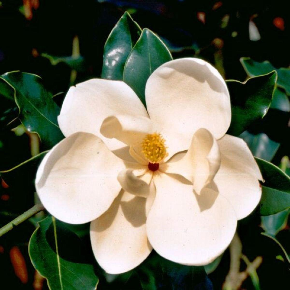 There are over 200 species of Magnolias.