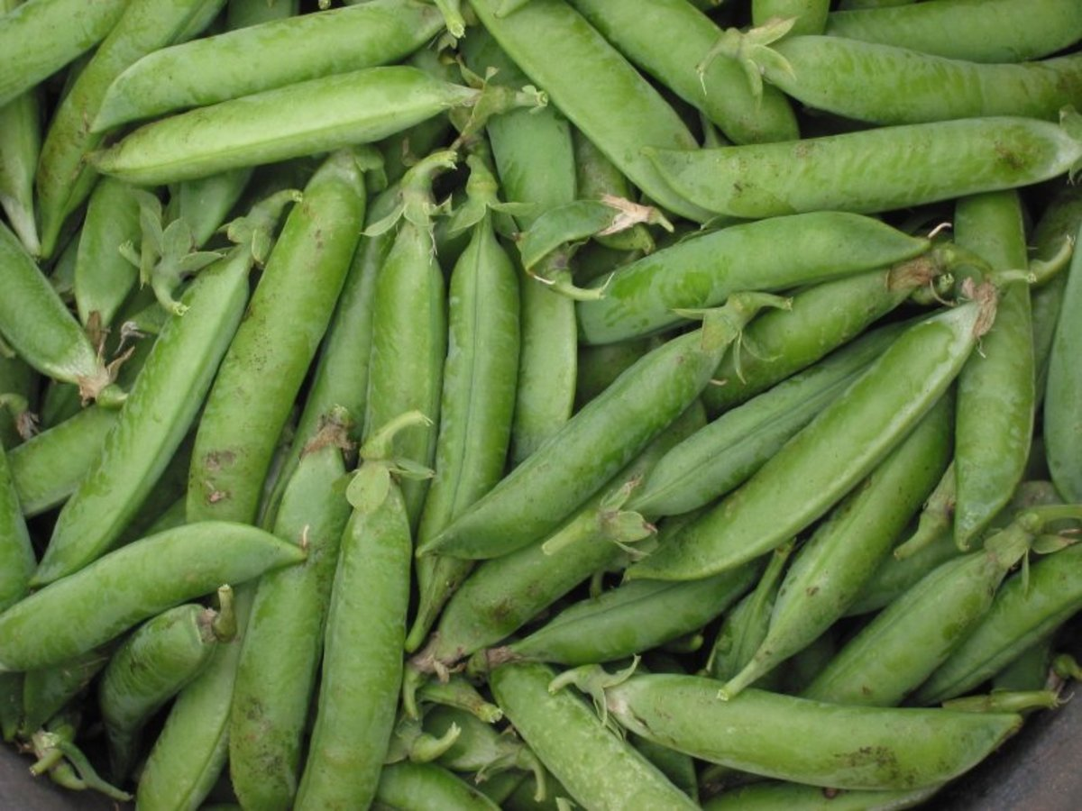 Peas are ready to harvest when the pods are full.