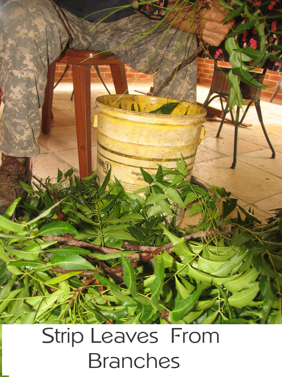 Removing neem leaves from stalks