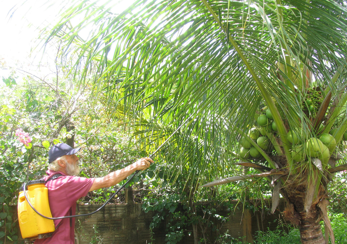 Spraying Coconut Trees With Neem