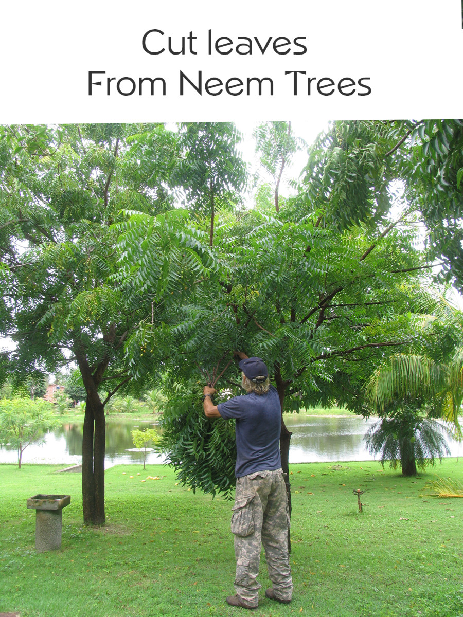 Cutting Neem Leaves for Pesticide