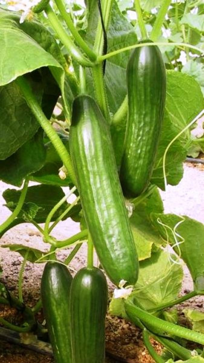 Hand-Pollinating Your Cucumber Plants