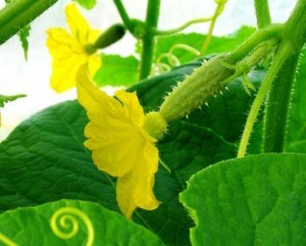 The female cucumber flower.