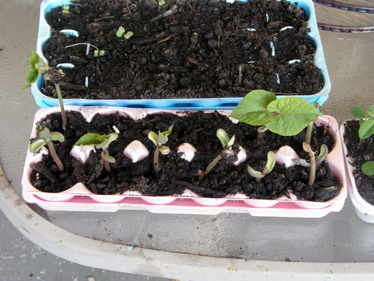 I started these green beans in recycled egg cartons.