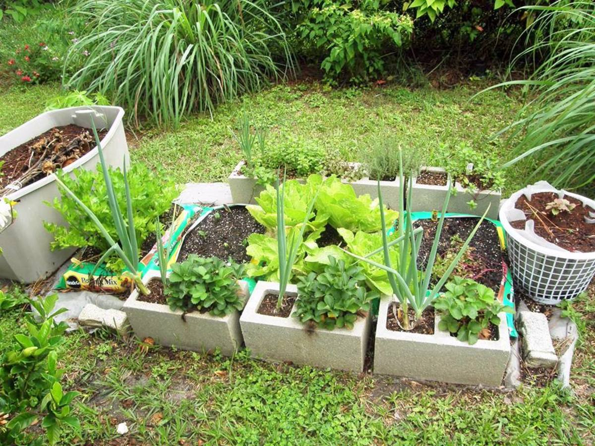I planted celery, fennel, romaine lettuce, broccoli, Brussels sprouts, and bok choy in cored concrete blocks.