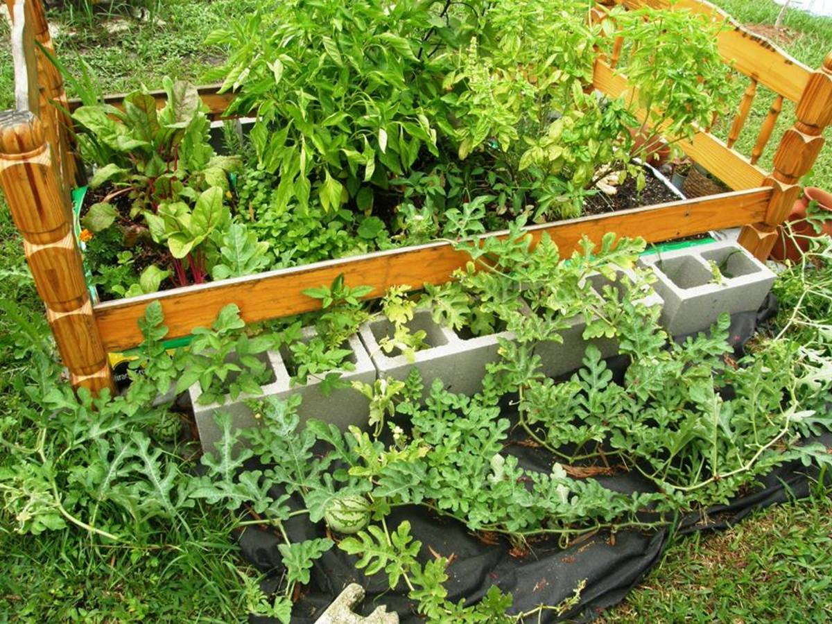 Peppers, Swiss Chard, Watermelon, and Various Herbs Planted in Bags of Soil and Framed by an Old Bed Frame
