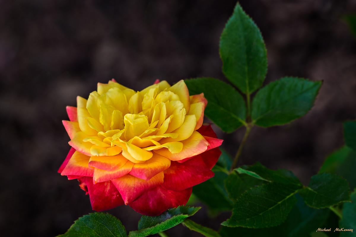 This captivating miniature Rainbow Sunblaze Rose in Albuquerque, New Mexico, grows well in full sun and can tolerate periods of drought.  The plant covers itself with smaller buds exhibiting a bright yellow cast and stunning red undertones.
