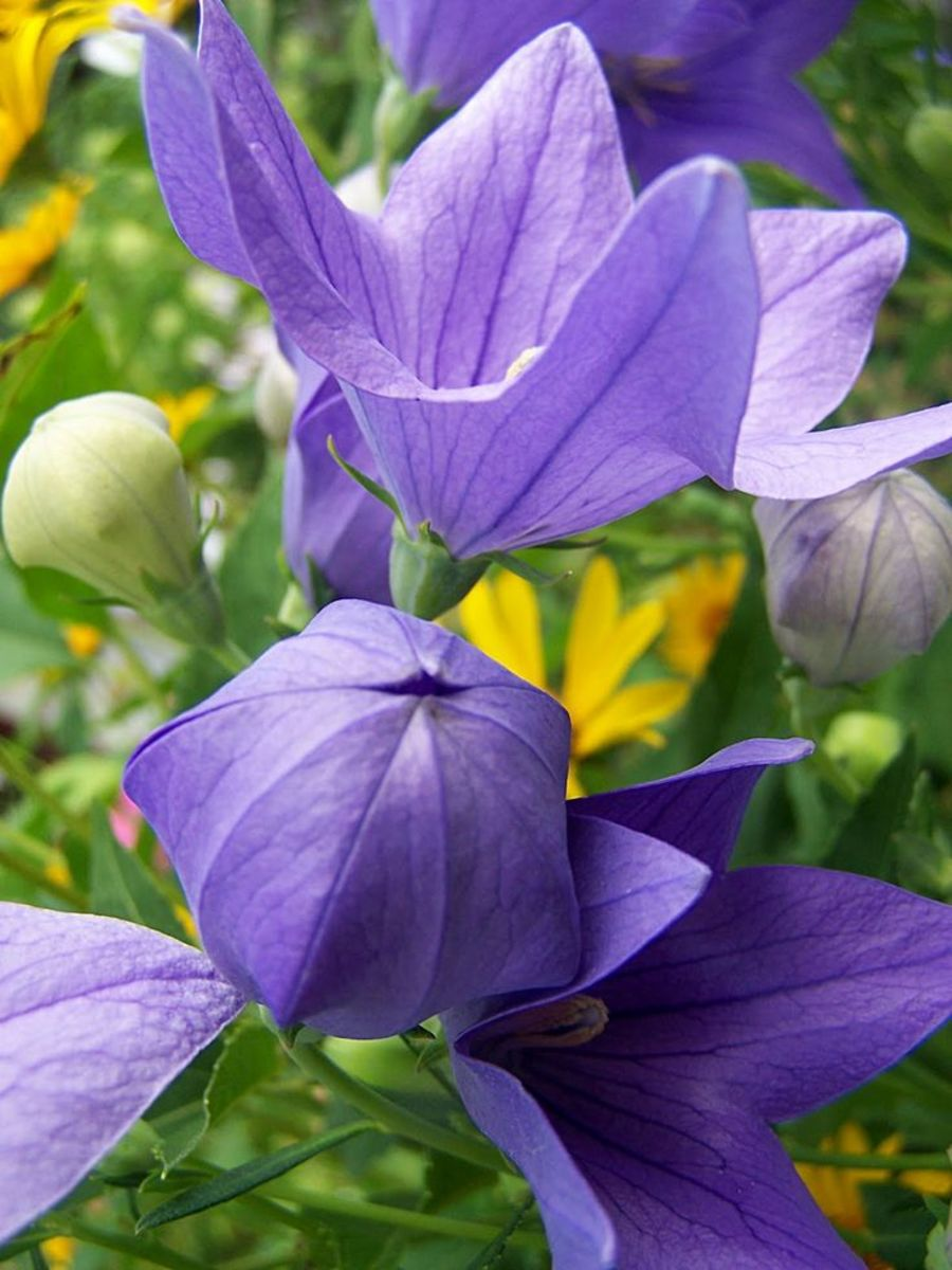 When open, Balloon Flowers resemble a star, but when closed they take on the shape of a balloon.