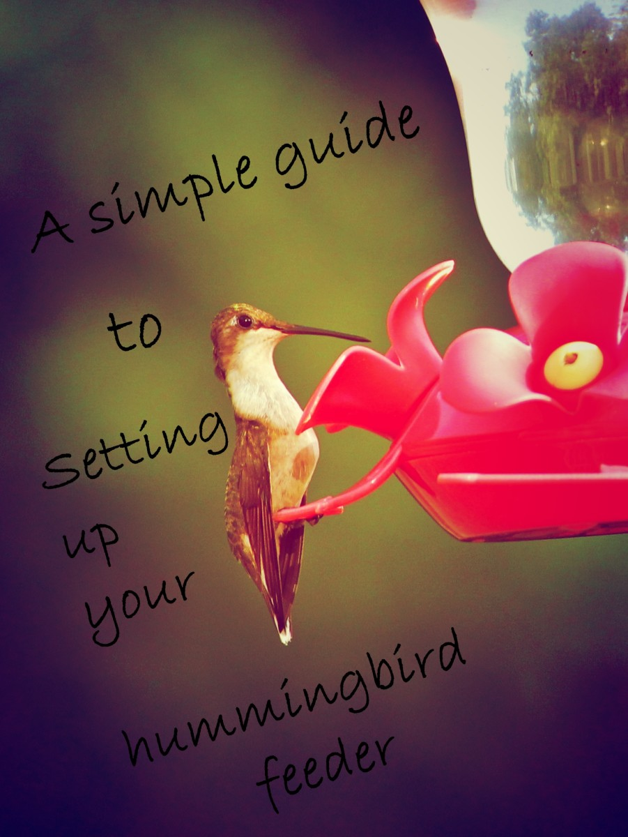 A Simple Guide to Setting up Your Hummingbird Feeder
