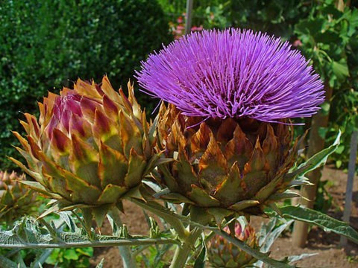 Globe artichoke flowers