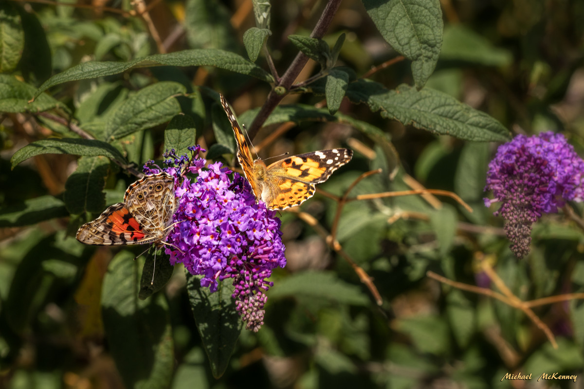 Growing/planting a butterfly bush does not come without it's share of problems - they can become terribly invasive and need to be controlled. It is important that you don't let it go to seed! But, as you can see, butterflies LOVE them!