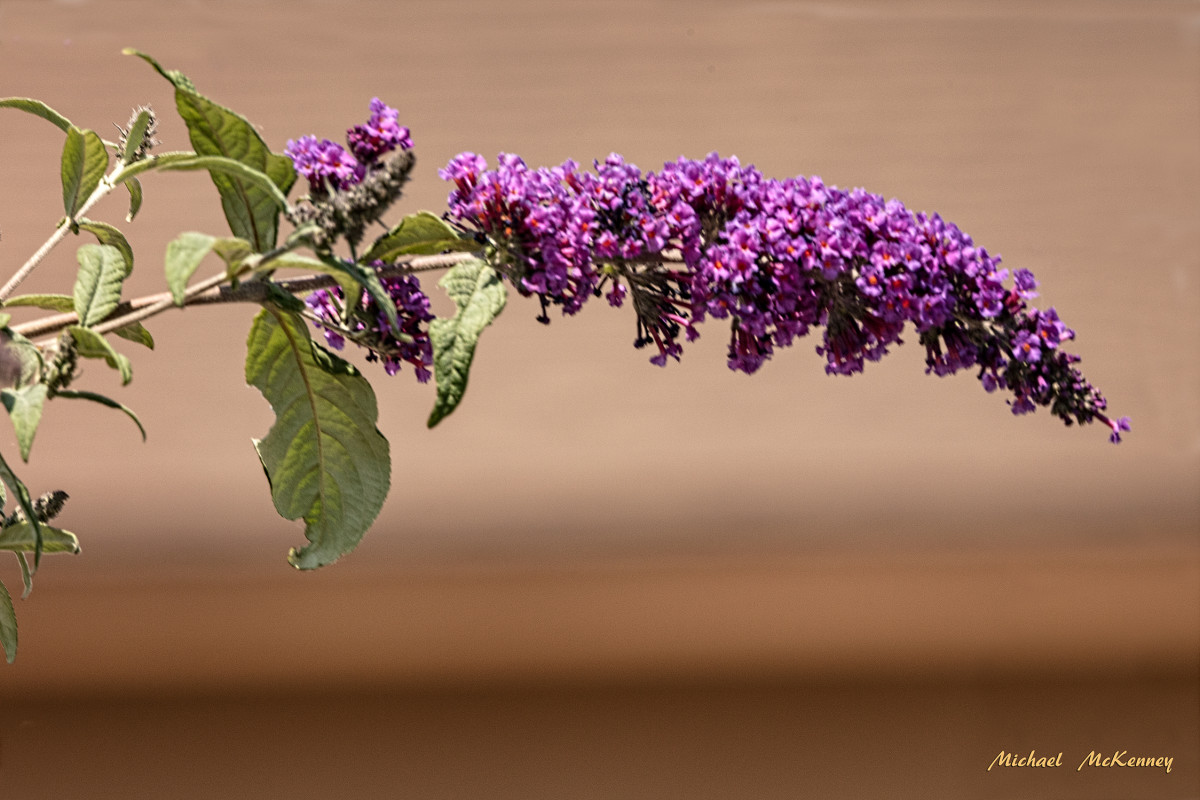 A healthy Butterfly Bush is like a magnet for attracting butterflies.