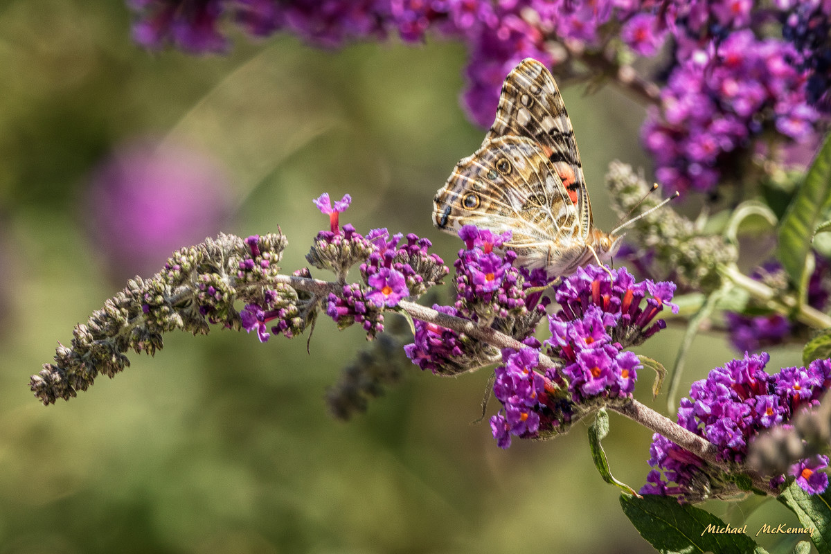 the-butterfly-bush-why-butterflies-and-you-will-love-having-one