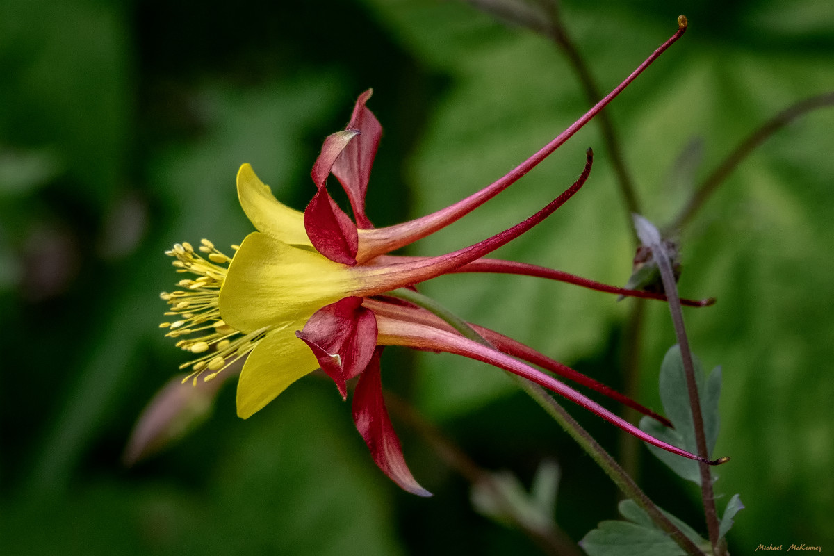 If you've admired these unusual flowers in botanical gardens, you don't have to be jealous...you can grow beautiful columbine flowers just like this one!