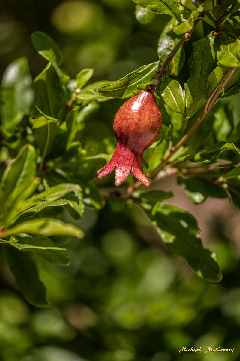 A pomegranate tree is a beauty to behold.