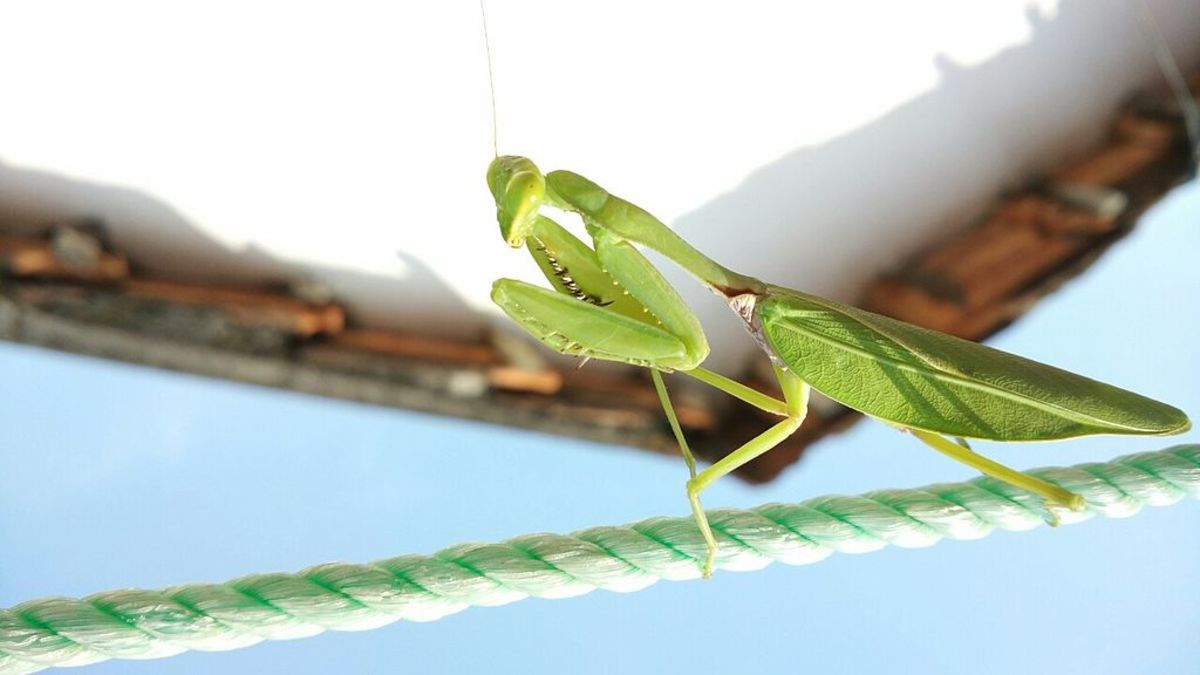 How to Attract Praying Mantises