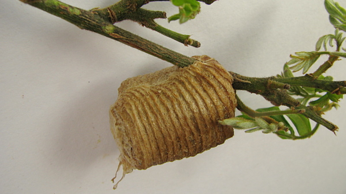 Hardened egg case in shrubbery.  The egg case protects the eggs during the cold winter weather.
