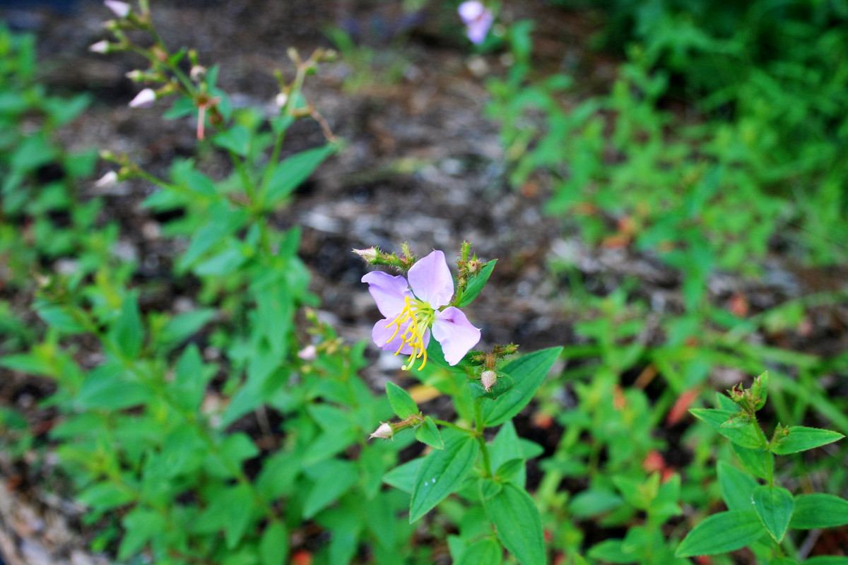 Patches of Virginia meadow-beauty grow along the forest next to our driveway.