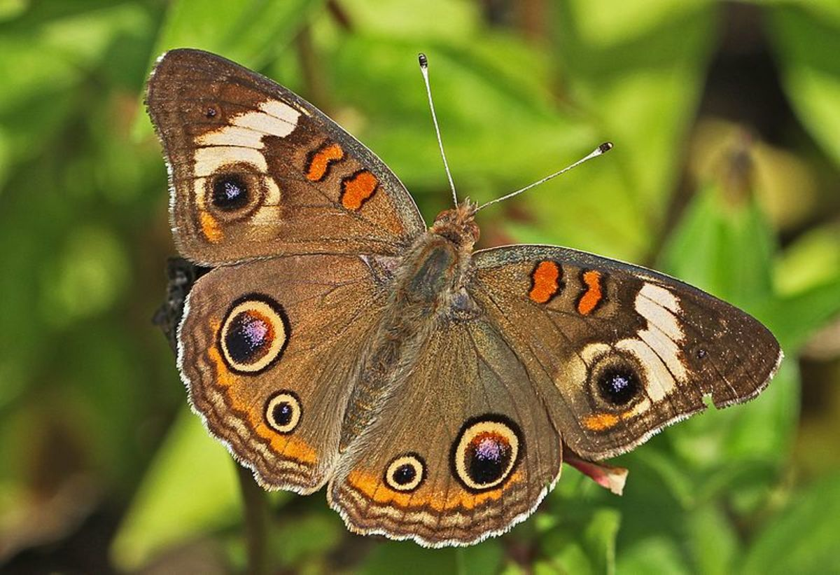 The Common Buckeye