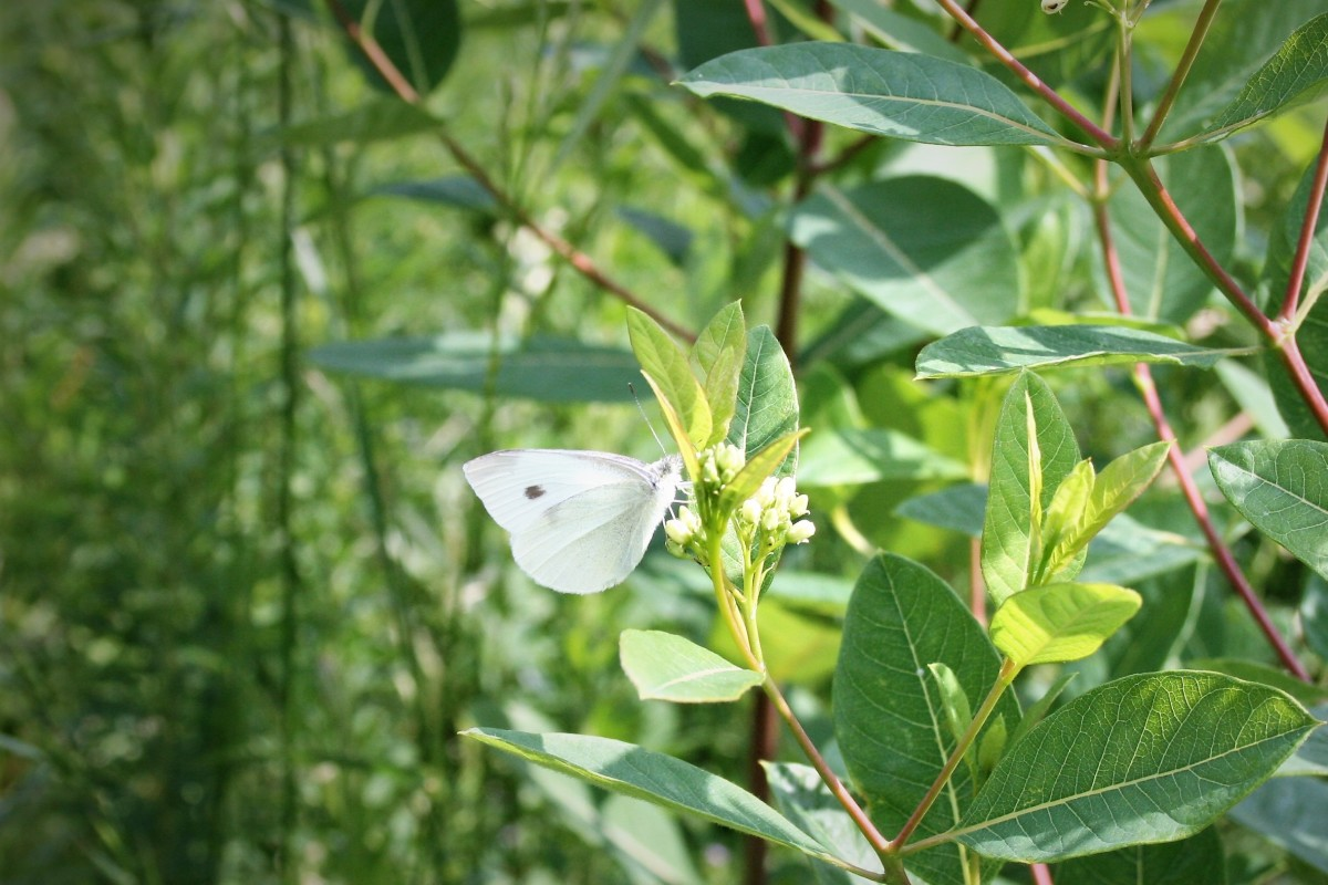 A Cabbage White butterfly sips nectar from common milkweed growing by a park path.