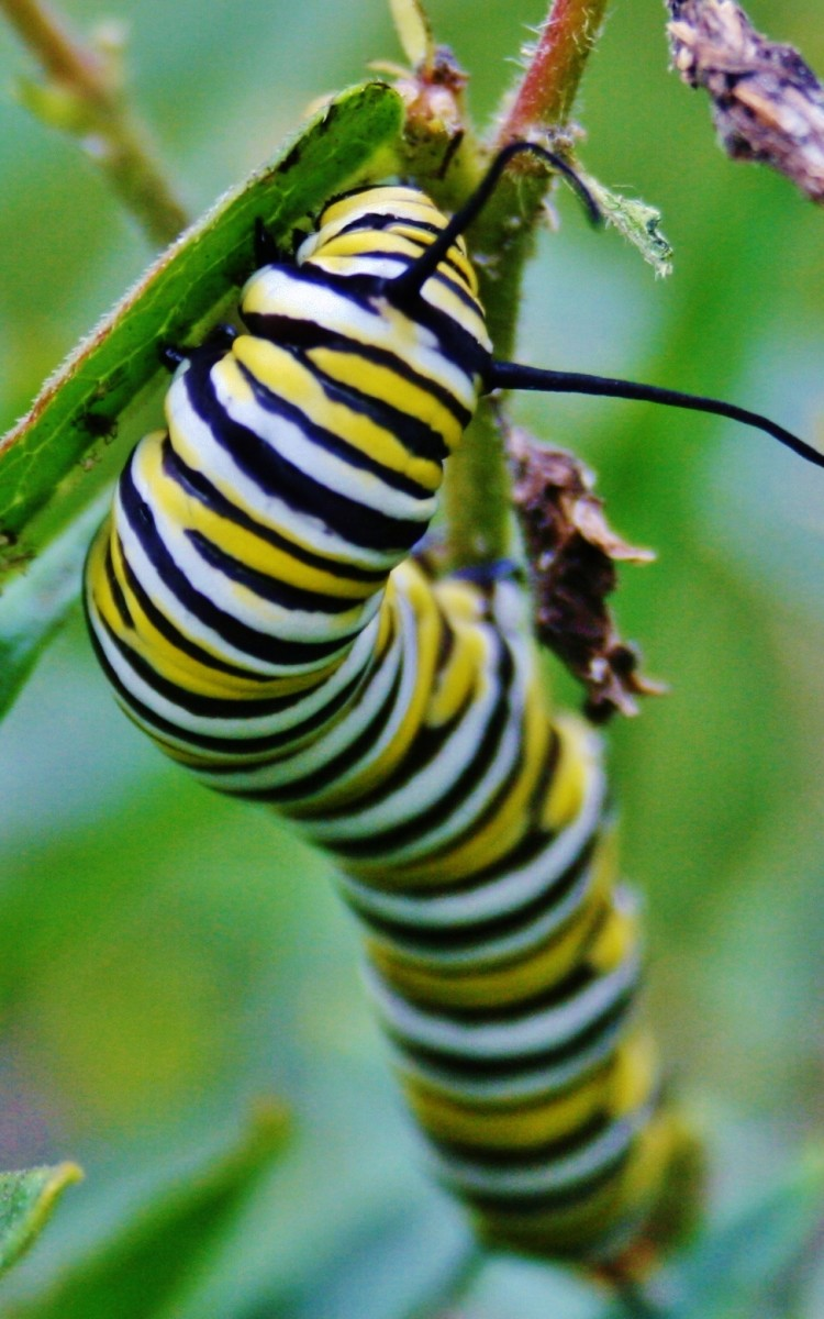A caterpillar hangs out on butterfly weed, which is closely related to milkweed.