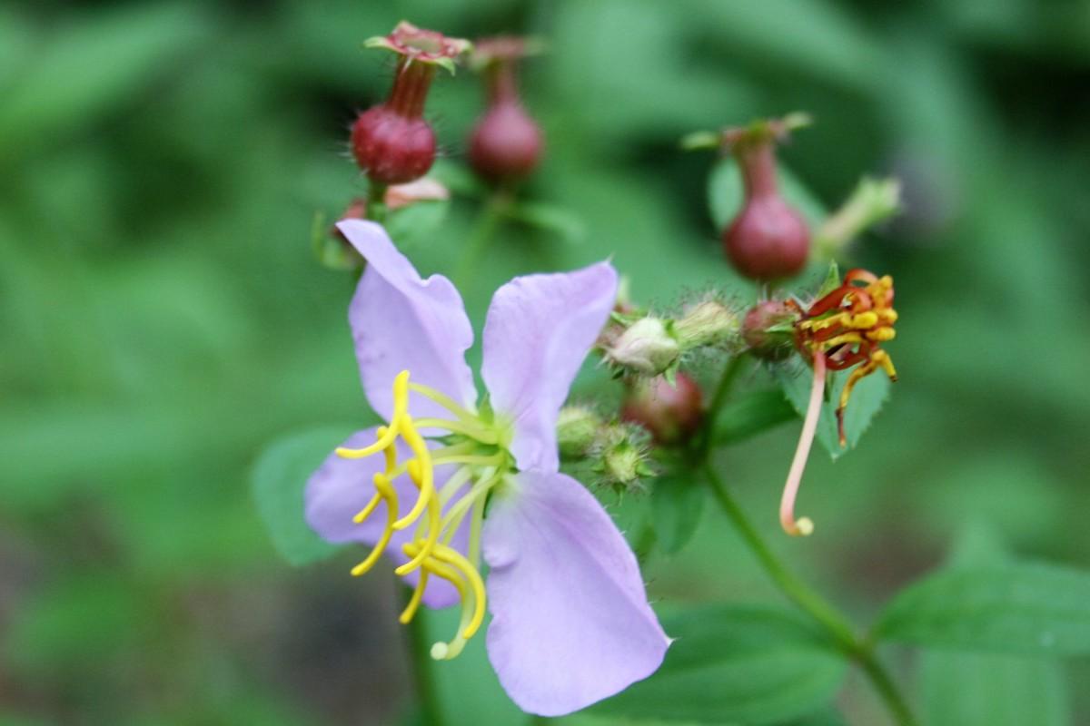 Virginia Meadow-Beauty
