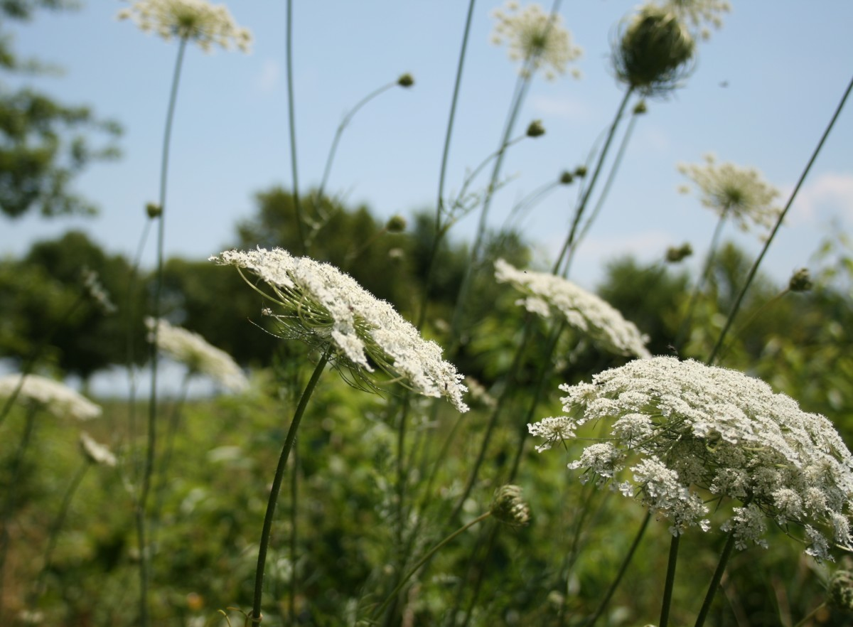 Native plants like Queen Anne's lace grow in the island's naturalized areas.