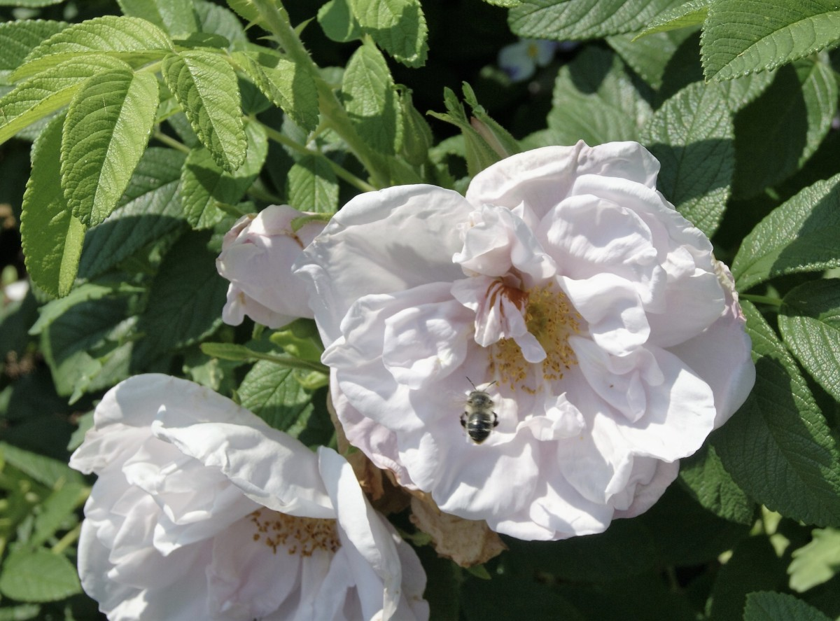 The bees need flowers. Bees on my roses.
