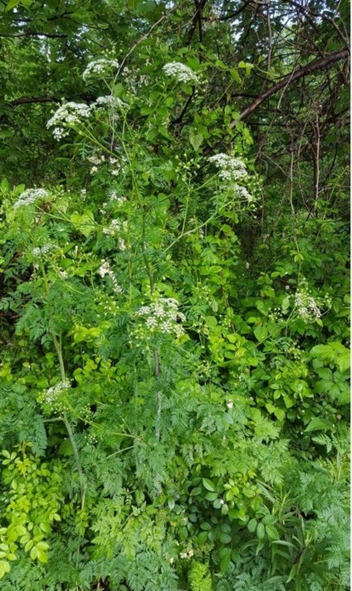 Poison Hemlock growing in my backyard