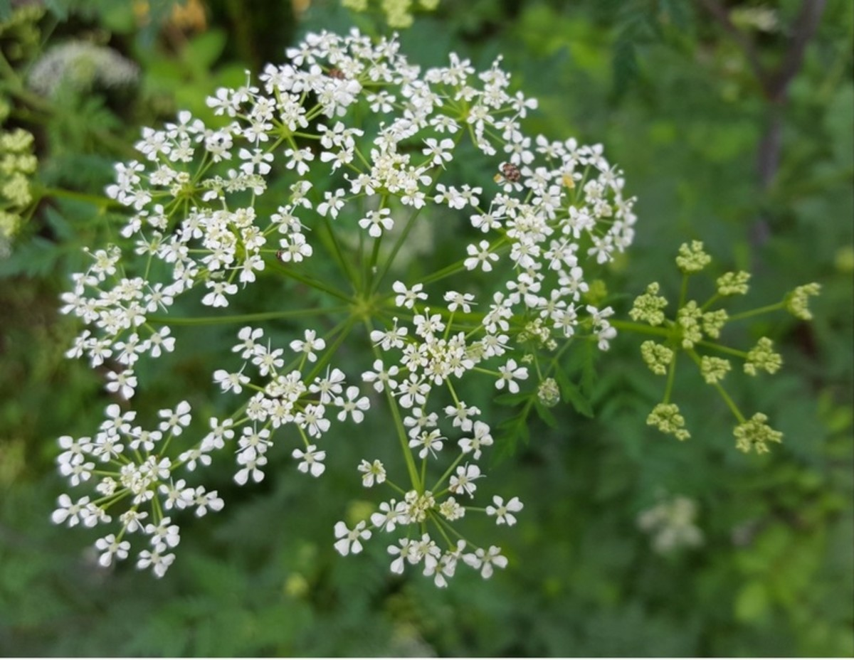 Poison Hemlock flower.  Note that it is more open than Queen Anne's Lace and has no purple flower in the center.