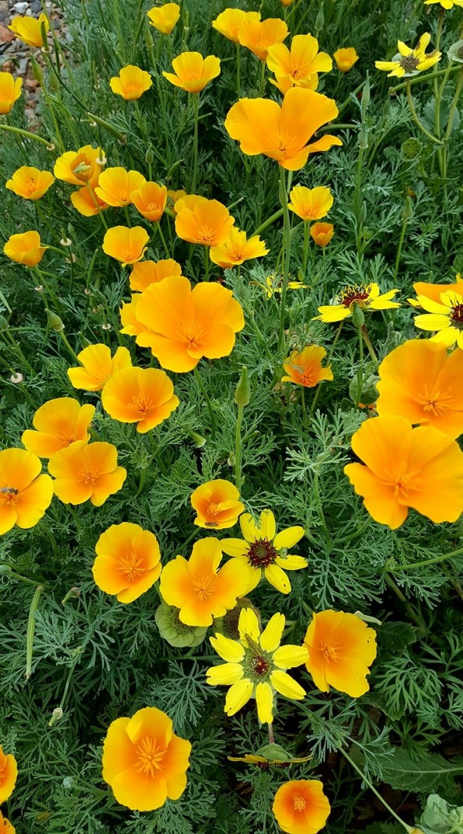 Spectacular California Poppies:  How and Where to Grow Them