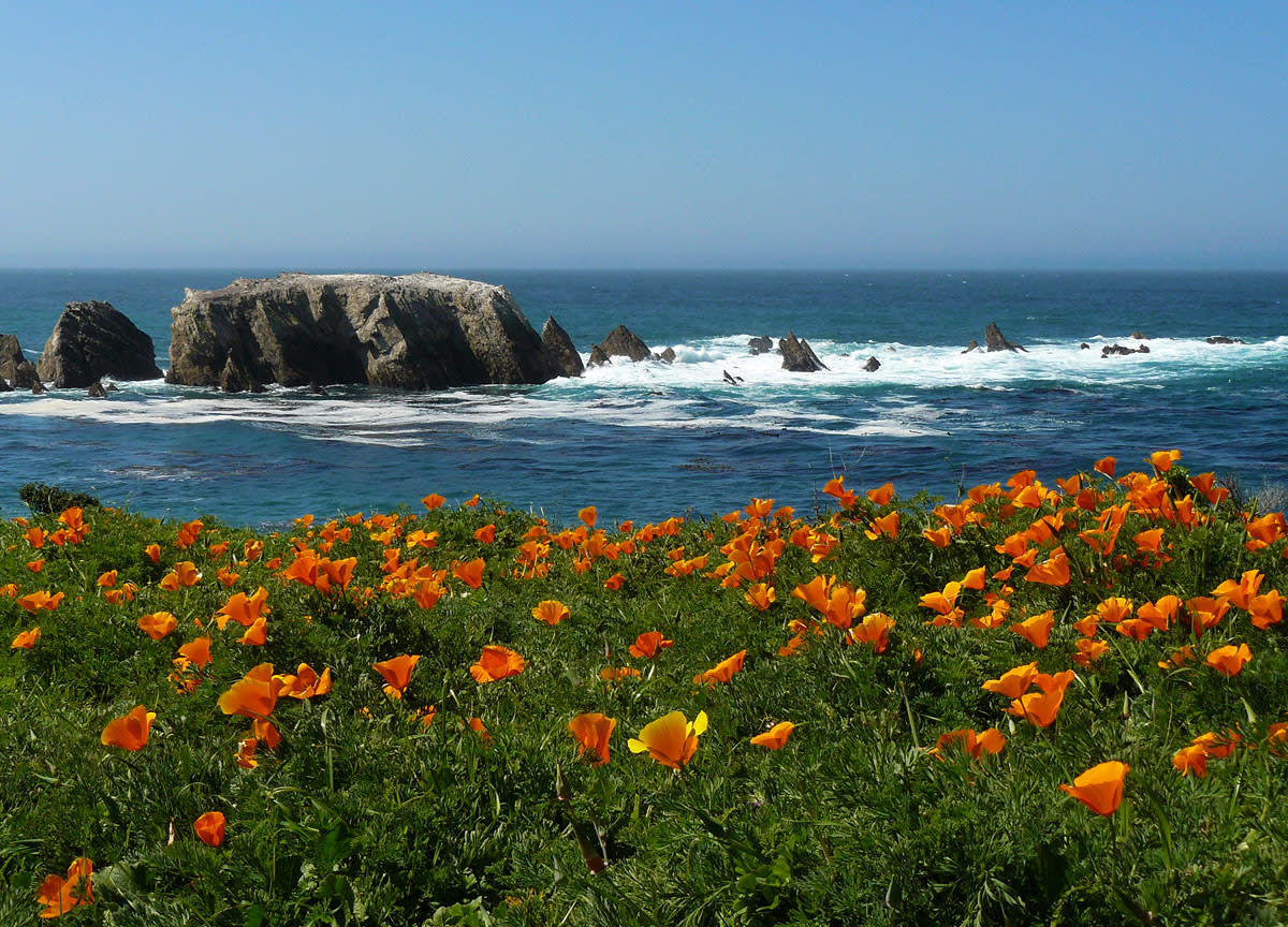 California poppies thrive along the coastlines where water is available at all times.