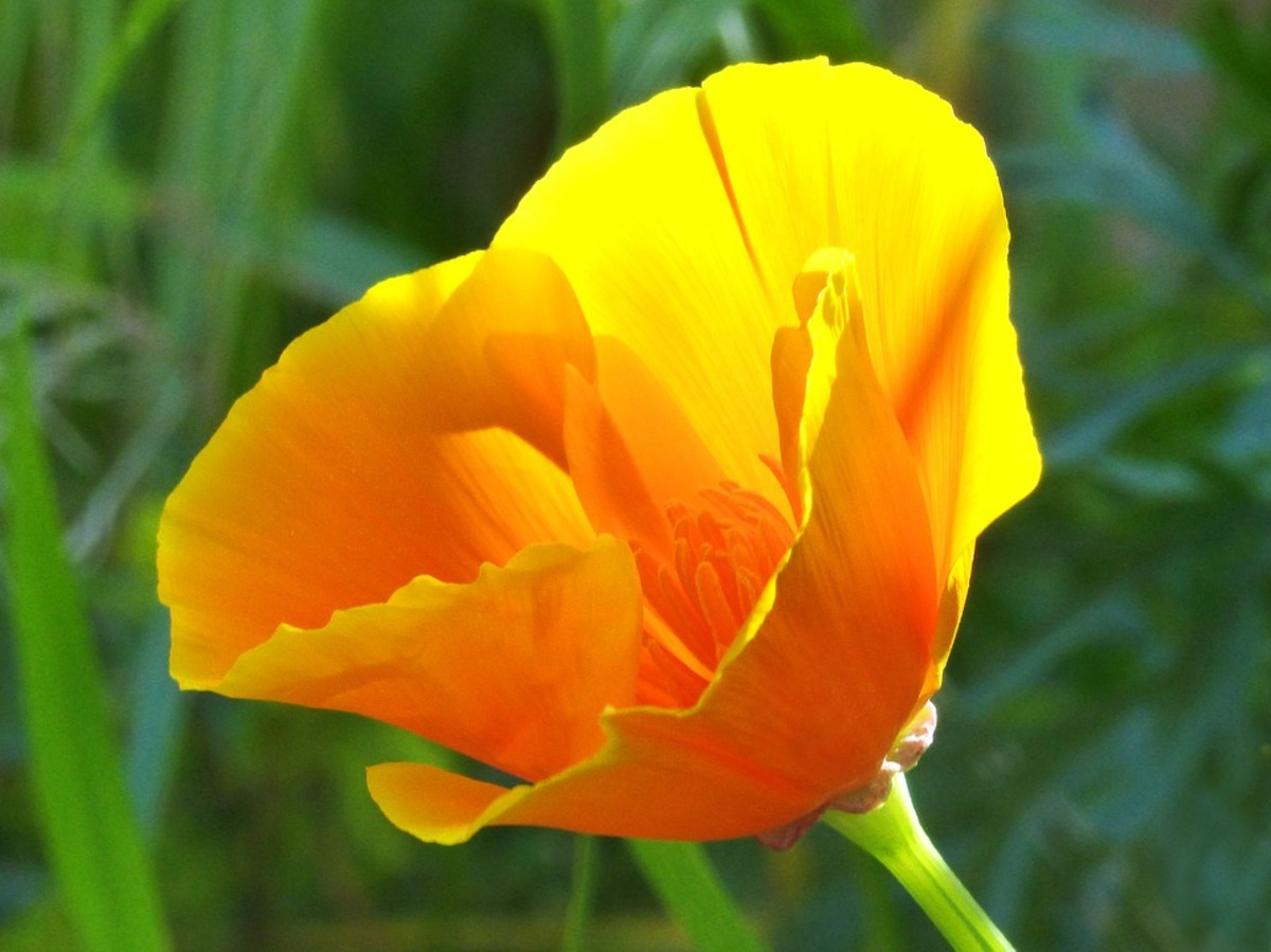 How When And Where To Grow Spectacular California Poppies Dengarden
