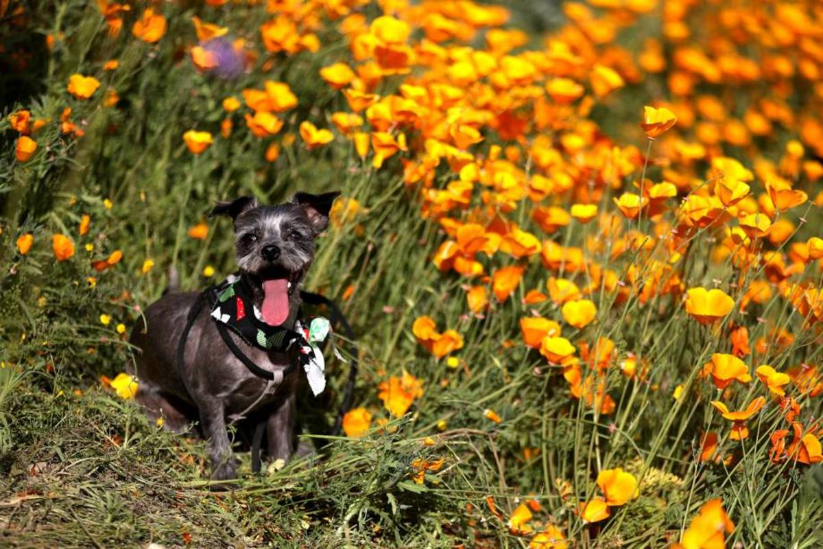 "The California poppy, according to a 2012 report by the University of California, is ""generally safe"" if ingested by your pet.  Wildflower.org says the chances of it being toxic are ""very low."""