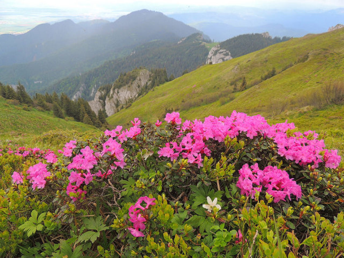 At higher altitudes, the Himalayan origins of the rhododendron become apparent.
