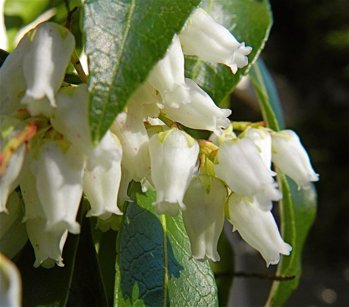 Pieris japonica blossoms